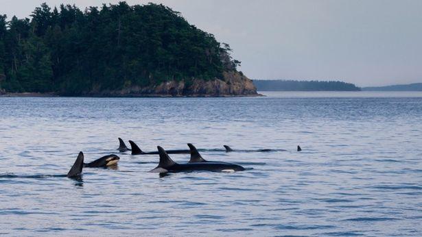 orca7