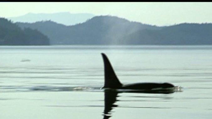 orcas1