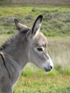 Baby donkey on the new forest, pure cuteness