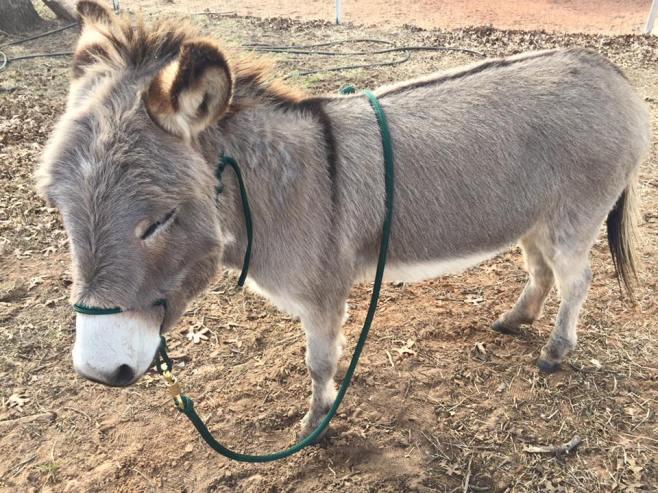Mini donkeymule Jasper.