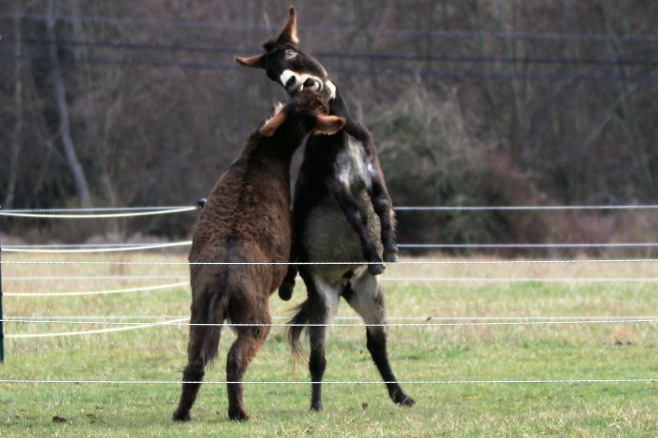 donkeysjumping