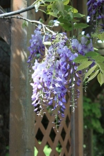 "Wisteria ""When To Prune"""