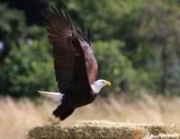 Bald Eagle On The Donkey WhispererFarm