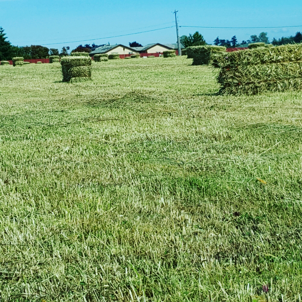 HAY FOR SALE SEQUIM WA