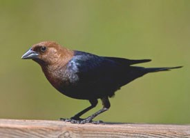 cowbirdbrown_headed_cowbird_glamor-1