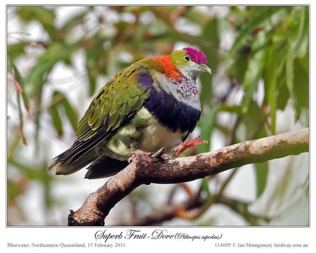 Superb Fruit Dove (Ptilinopus superbus) by Ian